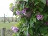 fordyce-lilac