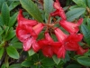 fordyce-rhododendron