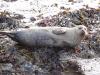 portsoy-seal-paulina