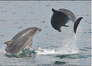 dolphins-cetacean-research-unit-dolphins